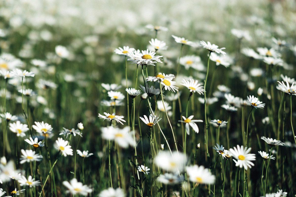 Es gibt 38 Bachblütenessenzen für verschiedene Gefühlszustände.