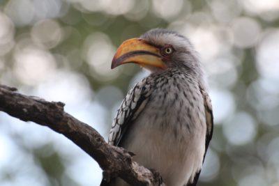 Nicht nur beim Nashornvogel sondern auch bei Schwangeren ist die Brechnuss sehr beliebt.